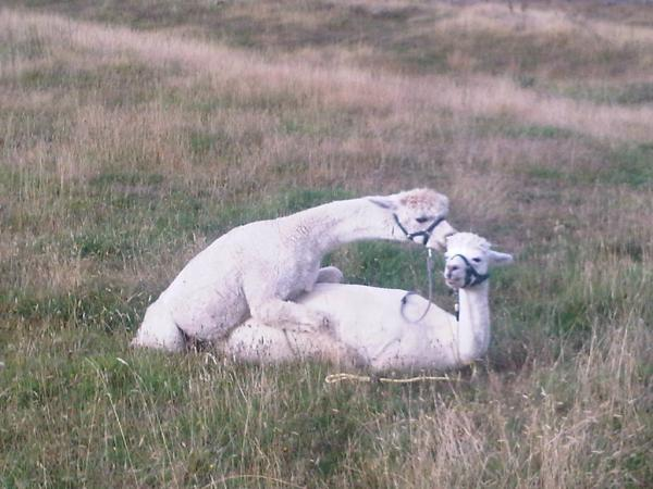 Alpacas mating - Sappa and Creampuff
